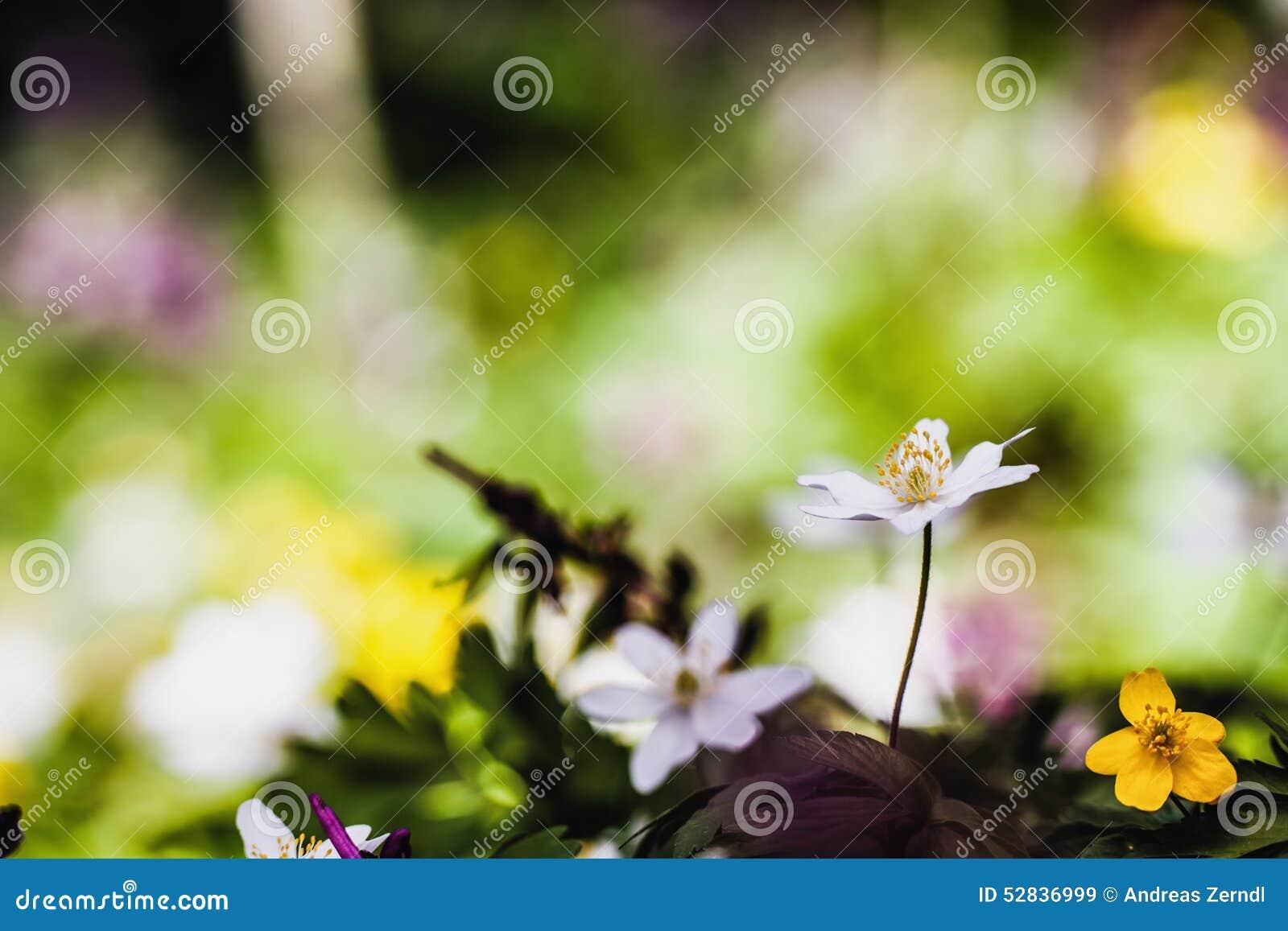 Anemone adorabile