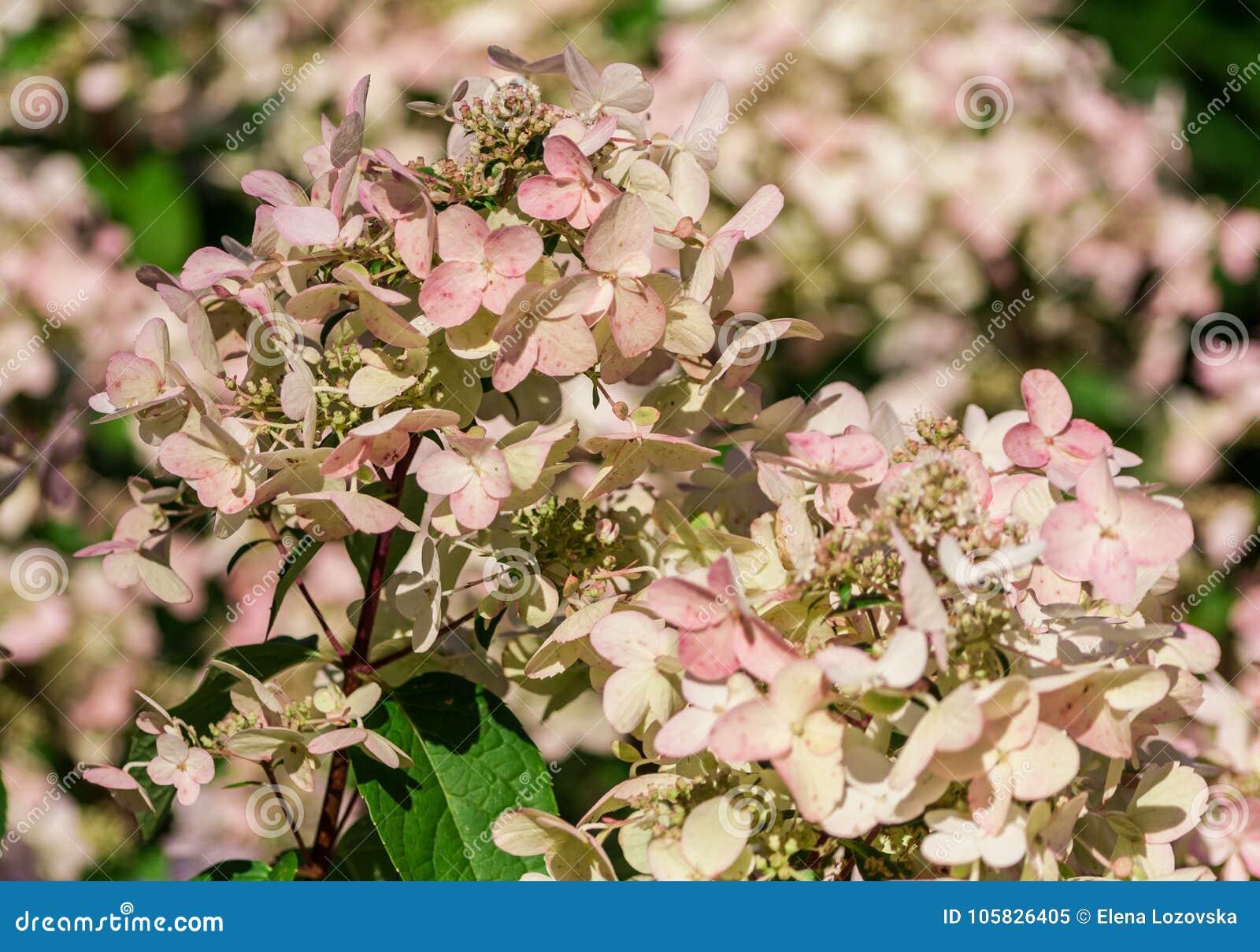 Anemone blanda weiße Pracht, eine Gruppe weiße Blumen