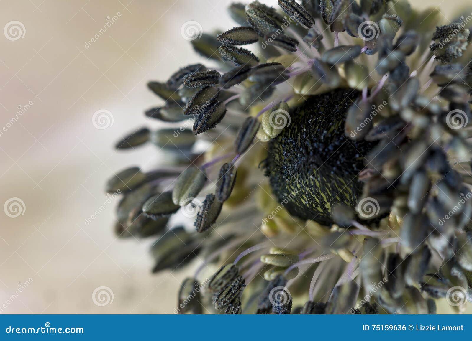 Anemone Centre Stock Photo Image Of Perfect Black Near 75159636