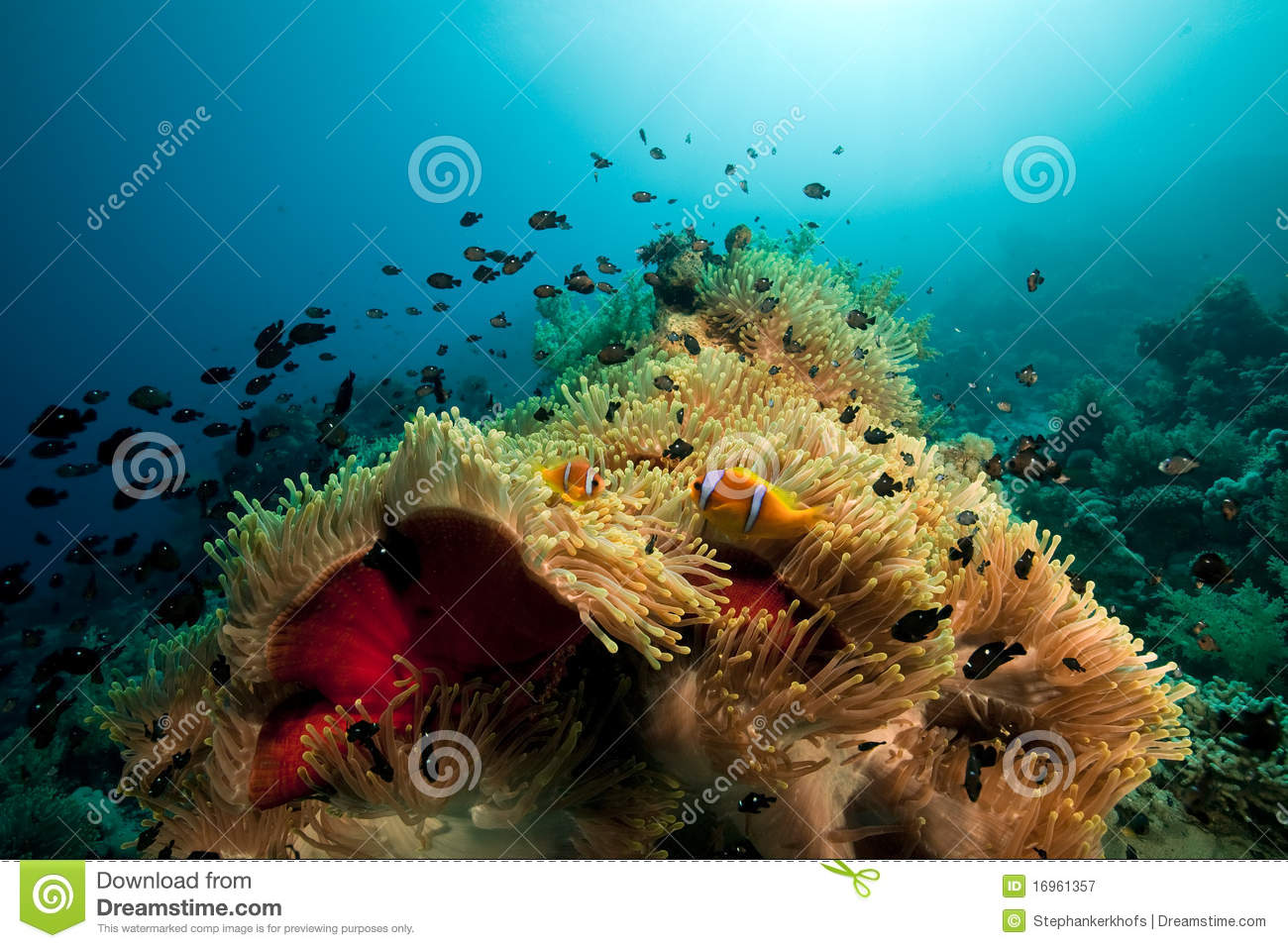 Anemone and fish in the red sea stock image image 16961357 for Red sea fish