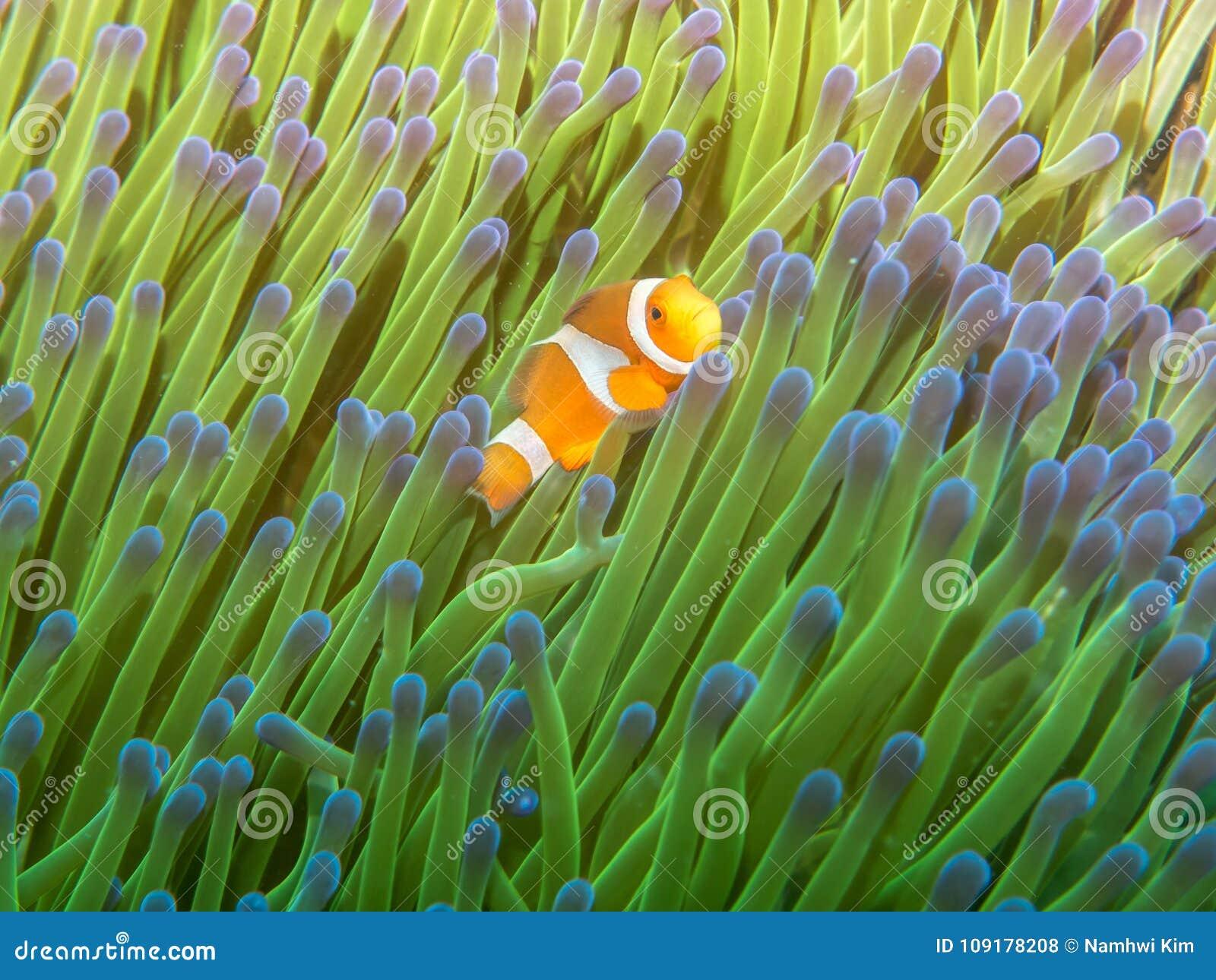 Anemone fish with Sea Anemone
