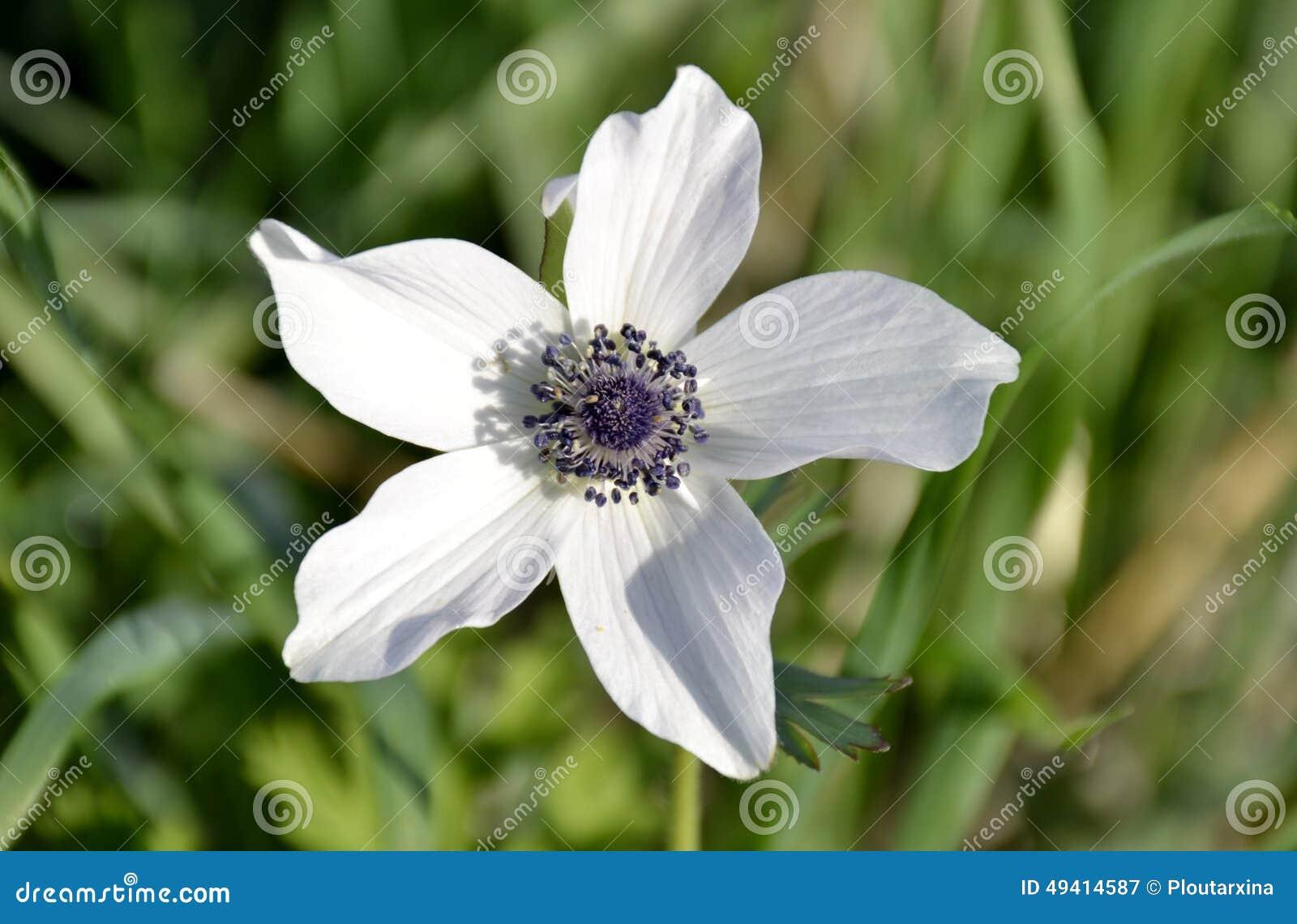 Download Anemone Flower stockbild. Bild von blume, purpurrot, field - 49414587
