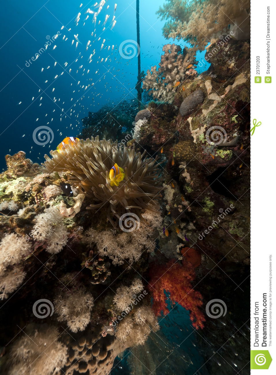 Anemone and glass fish in the red sea stock image image for Red sea fish
