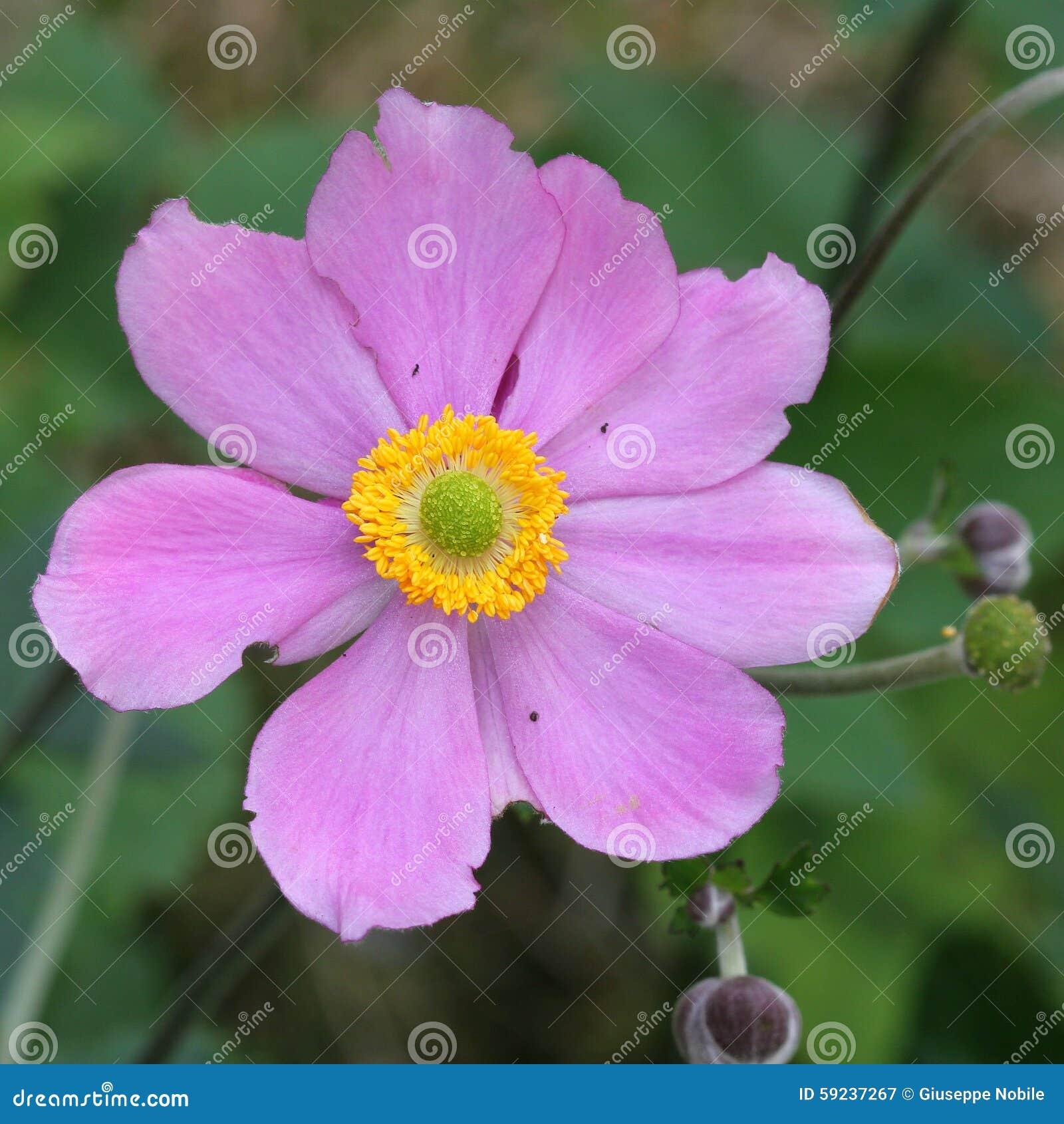 Download Anemone Japonica imagen de archivo. Imagen de flora, hortícola - 59237267