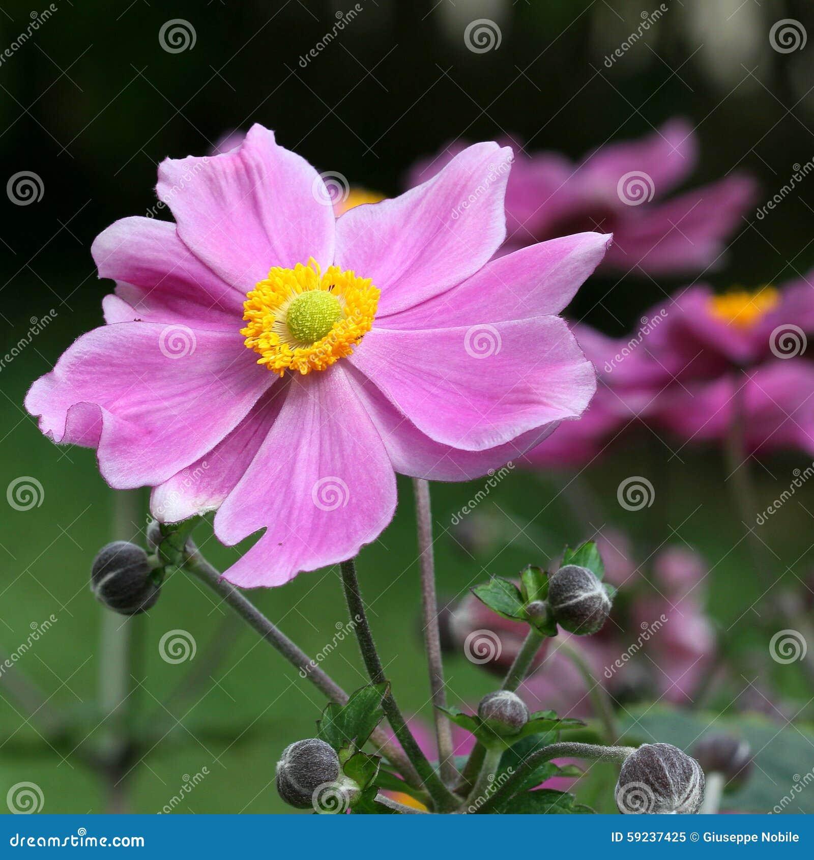 Download Anemone Japonica imagen de archivo. Imagen de crecimiento - 59237425