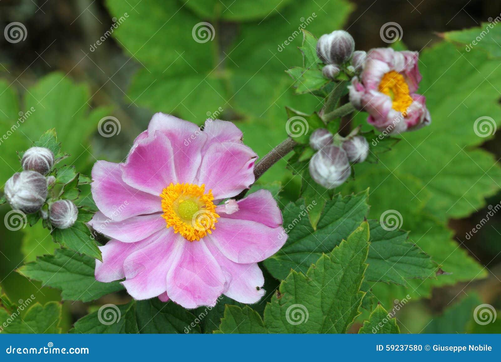 Download Anemone Japonica foto de archivo. Imagen de jardín, hermoso - 59237580