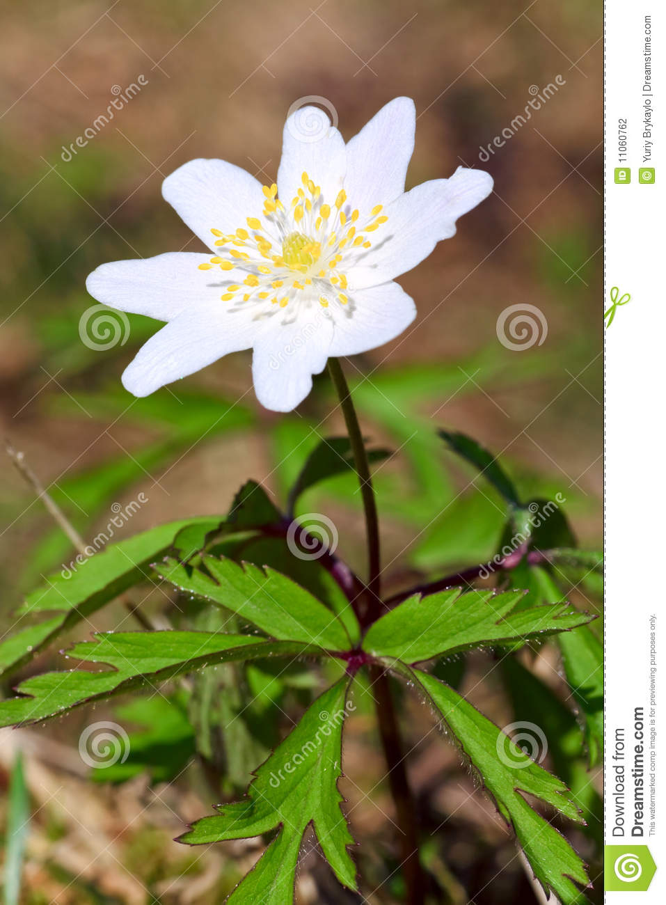 Anemone Plant With White Flower Stock Photo Image Of Petals