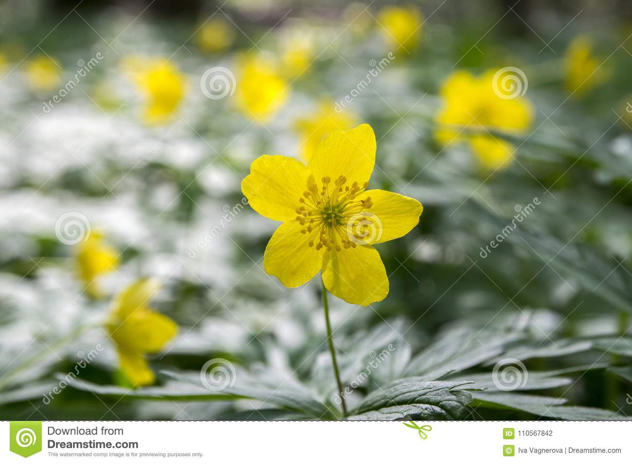 Anemone Ranunculoides Spring Yellow Flowers In Bloom Stock Photo