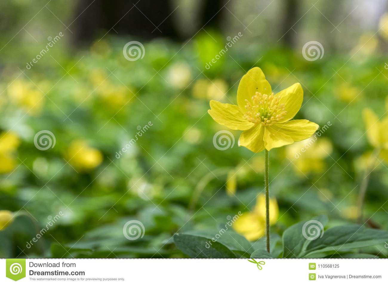 Anemone Ranunculoides Spring Yellow Flowers In Bloom Stock Image