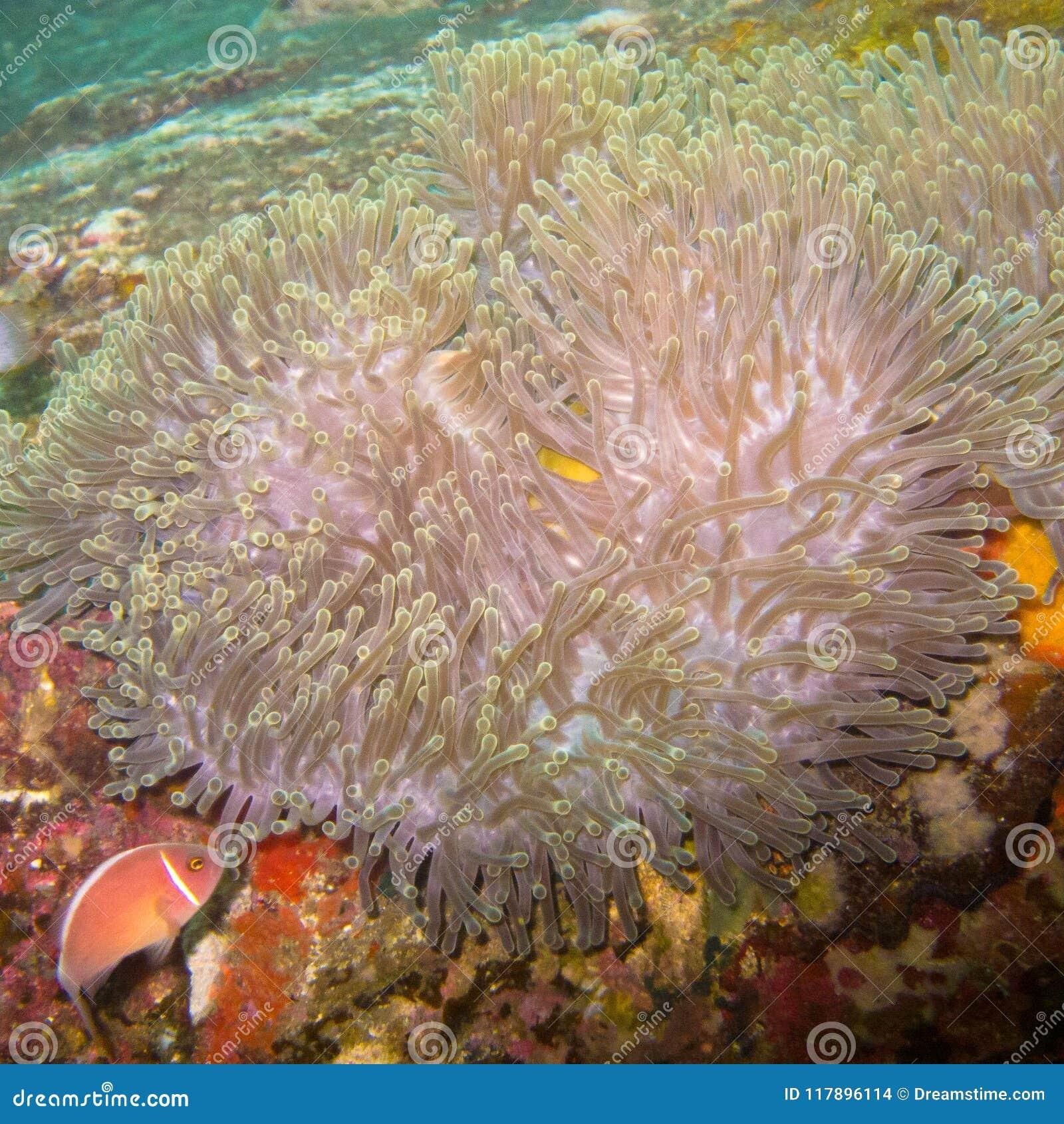Anemone underwater, an animal looking like a flower
