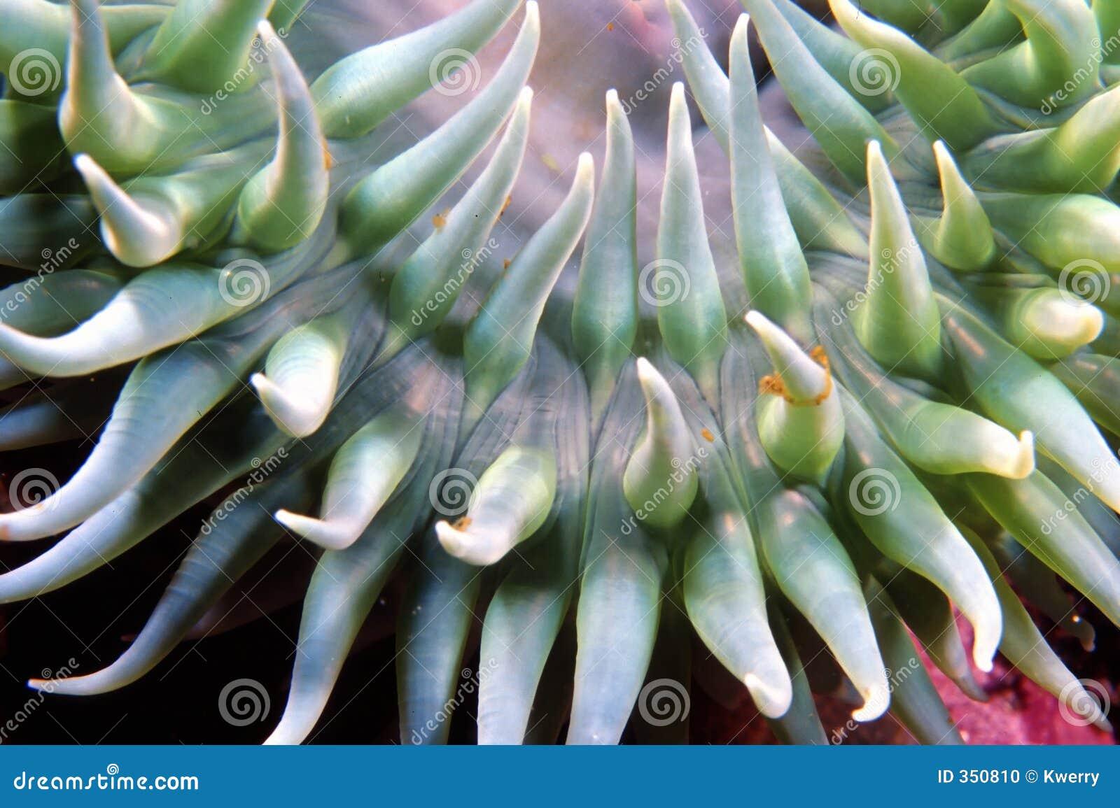 Anemone verde della spuma
