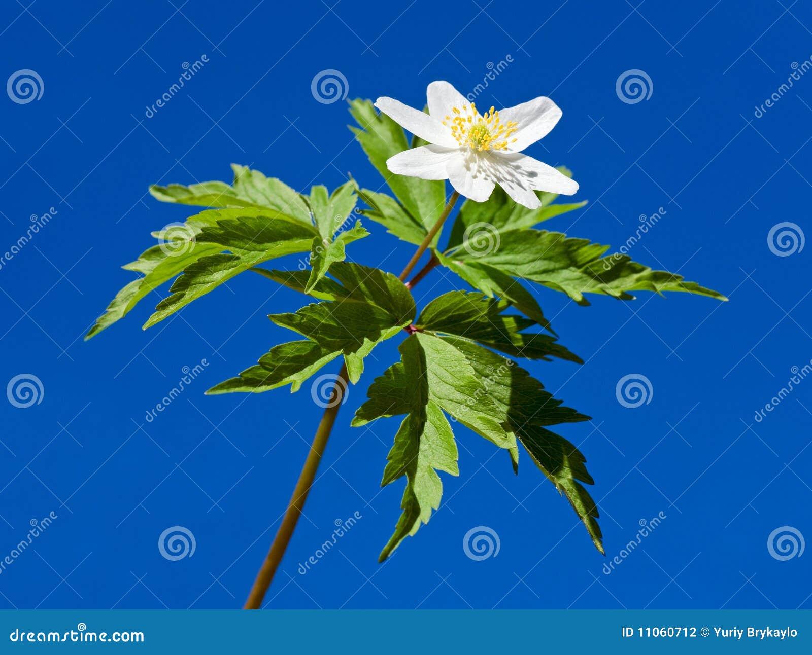 Anemone white flower on blue sky background stock photography image