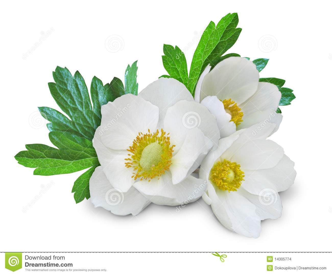 Anemone_white_flowers_isolated_2