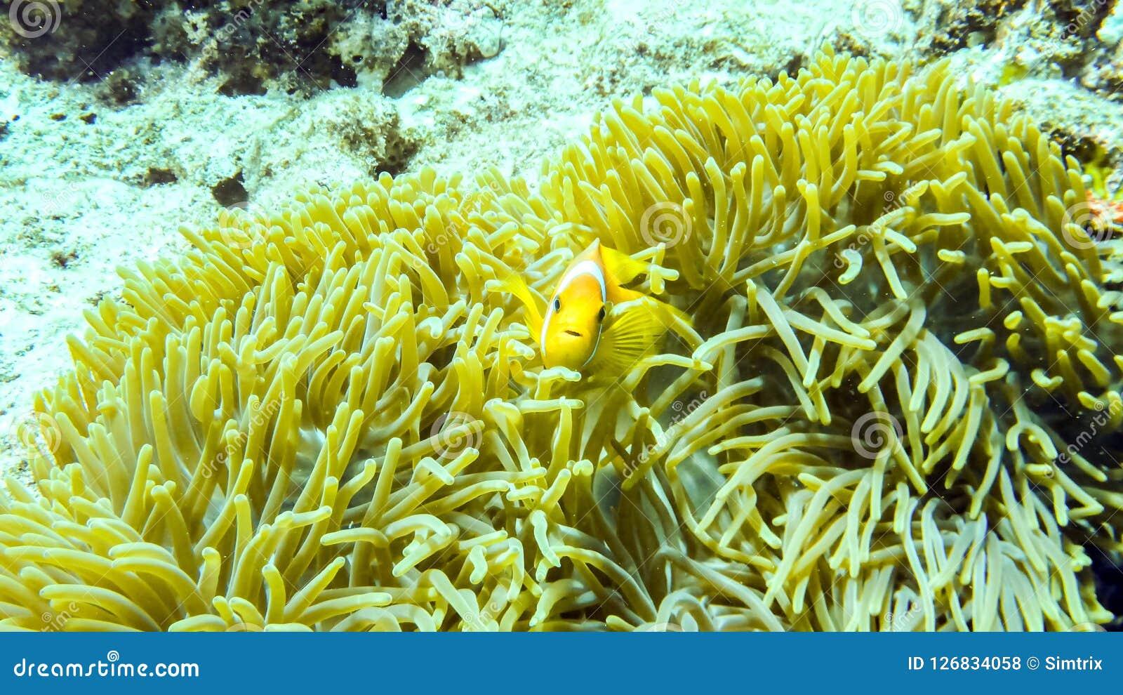 Anemonefish пряча в своей ветренице, Мальдивы