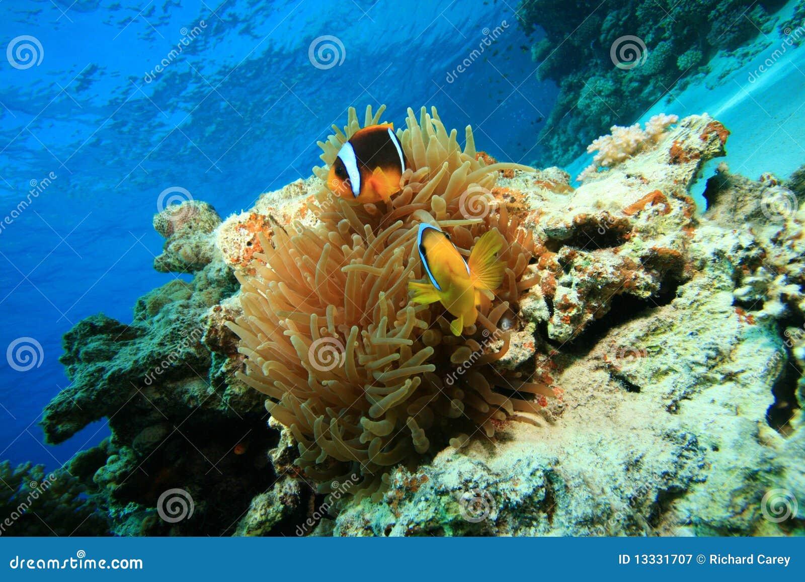 Anemonefish anemonowy bąbel