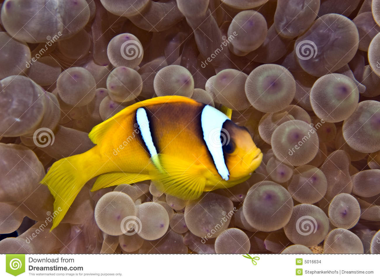 Anemonefish bubbleanemone
