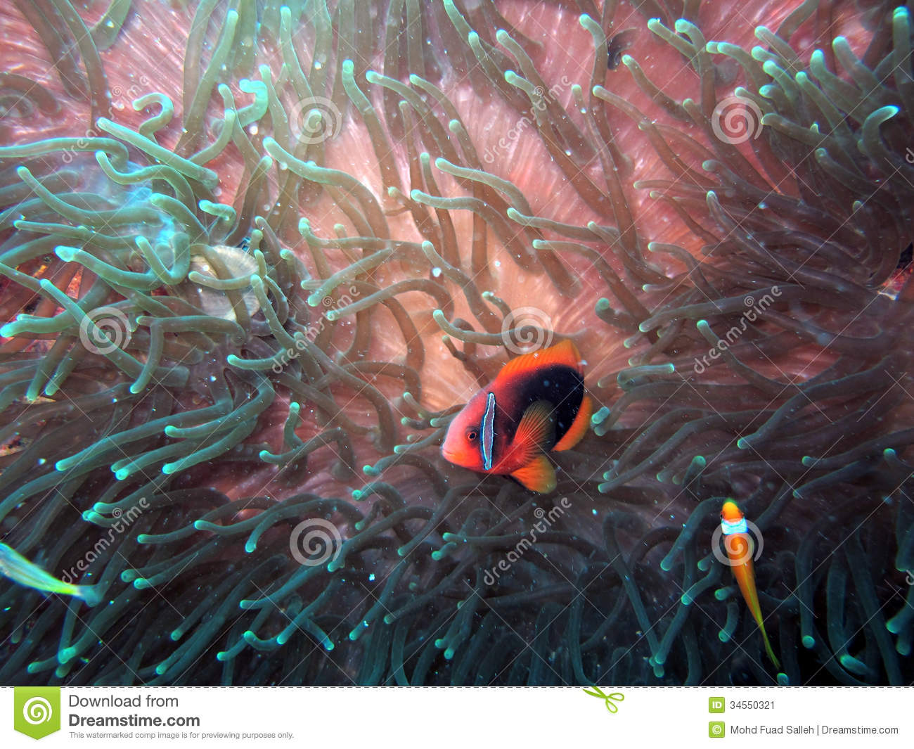 Anemonefish or clown fish in their natural habitat stock for Clown fish habitat