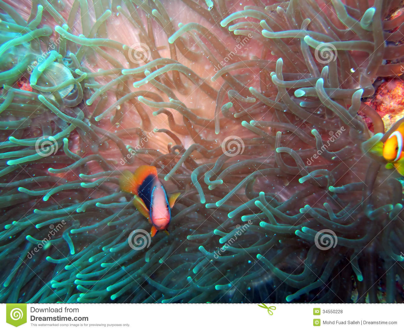 Anemonefish or clown fish stock photo image of creature for Clown fish habitat