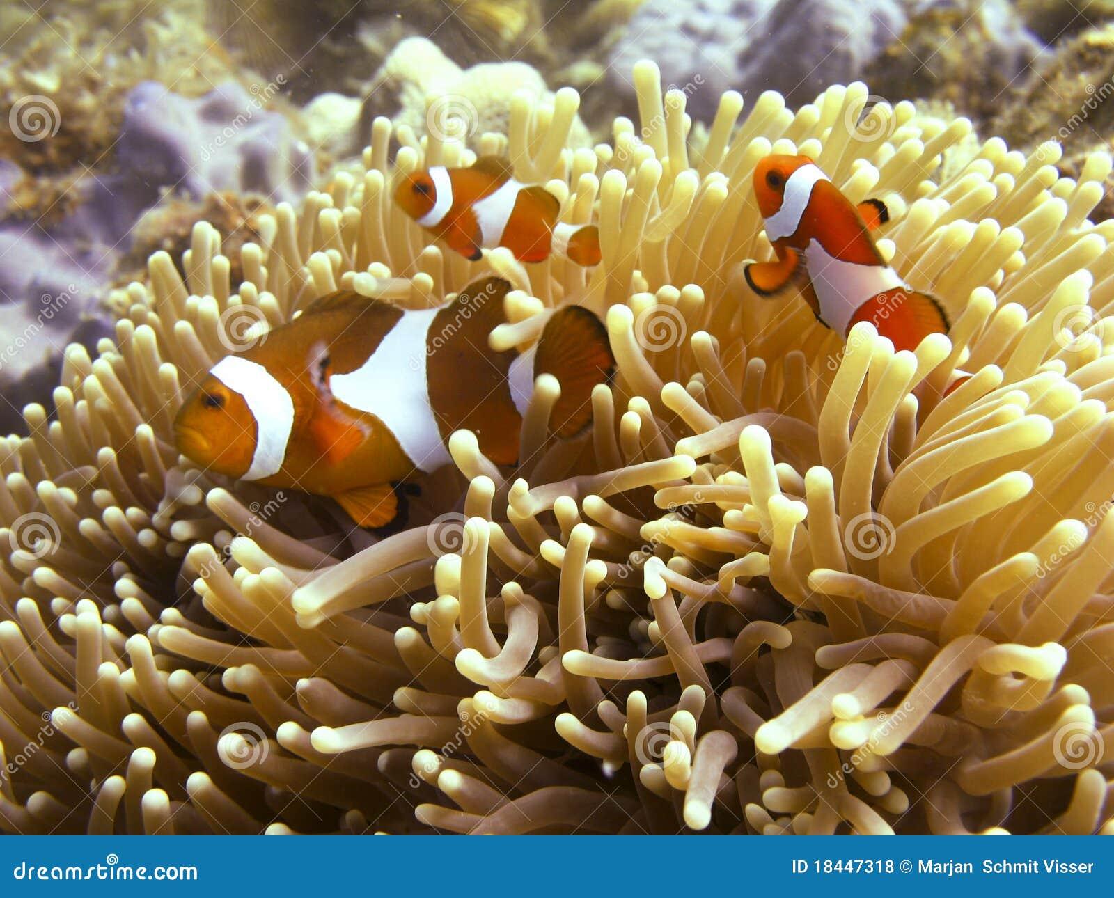 Anemonefish / Clownfish
