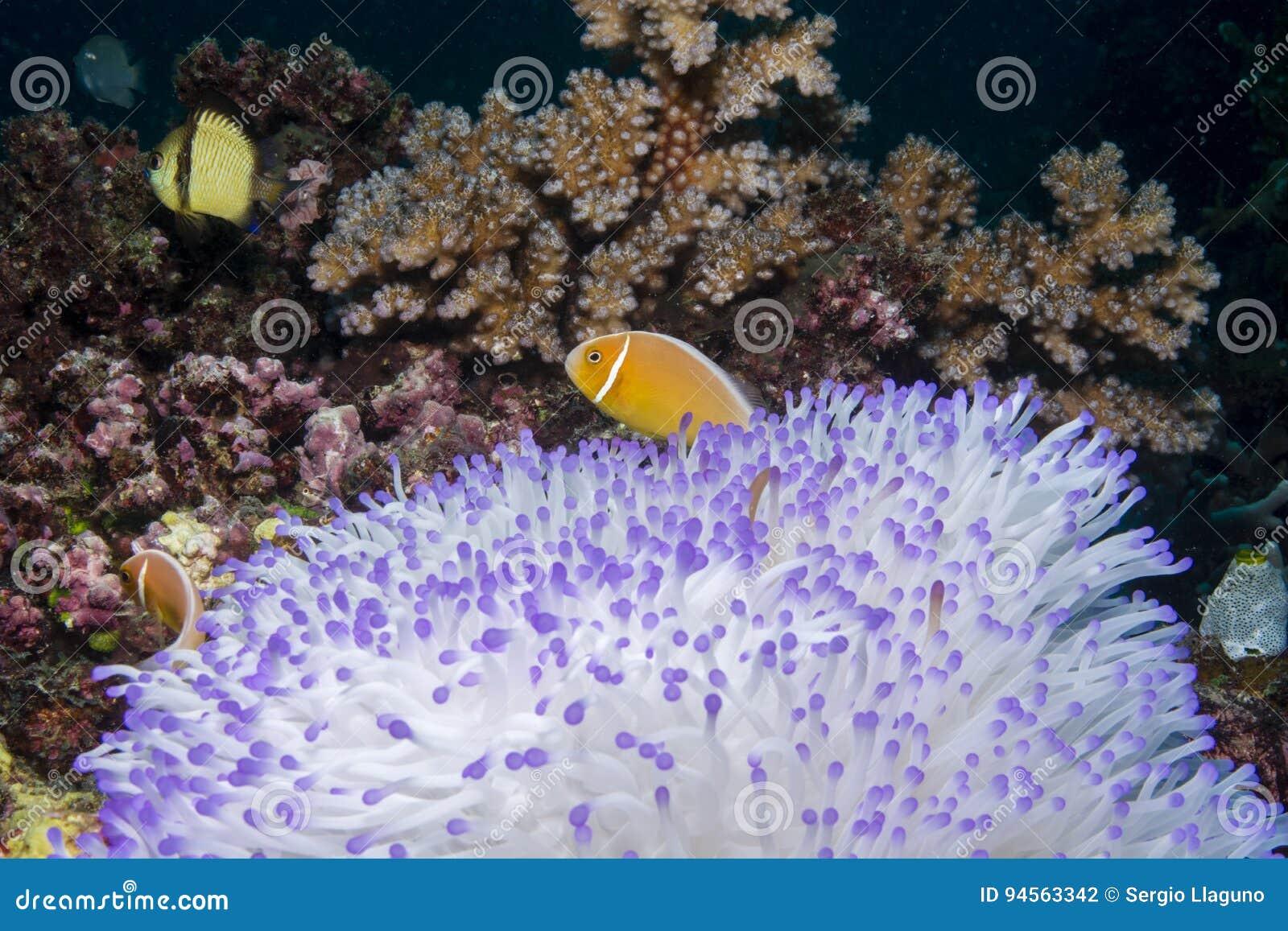 Anemonefish cor-de-rosa