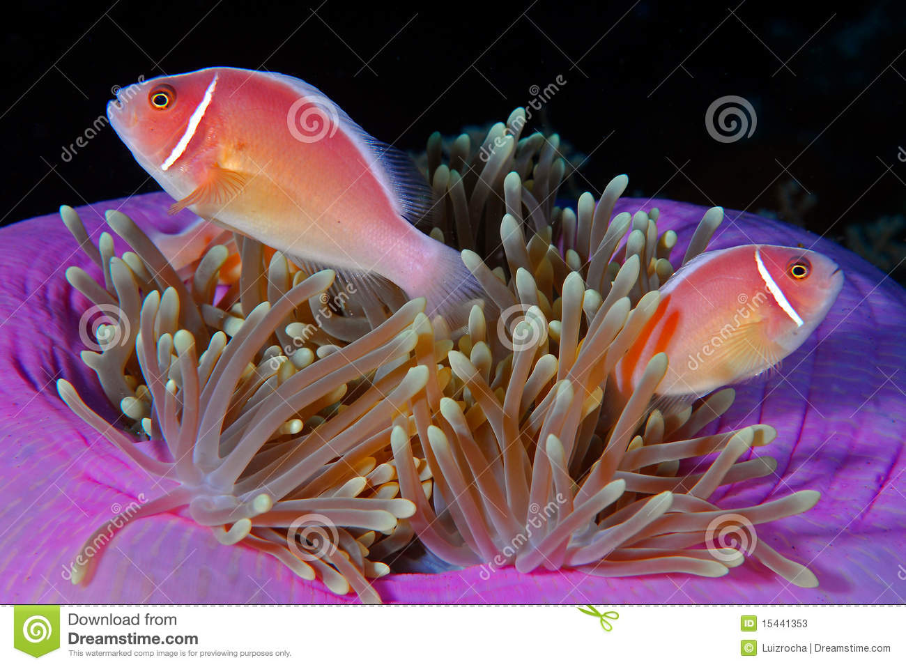 Anemonefish cor-de-rosa (perideraion do Amphiprion)