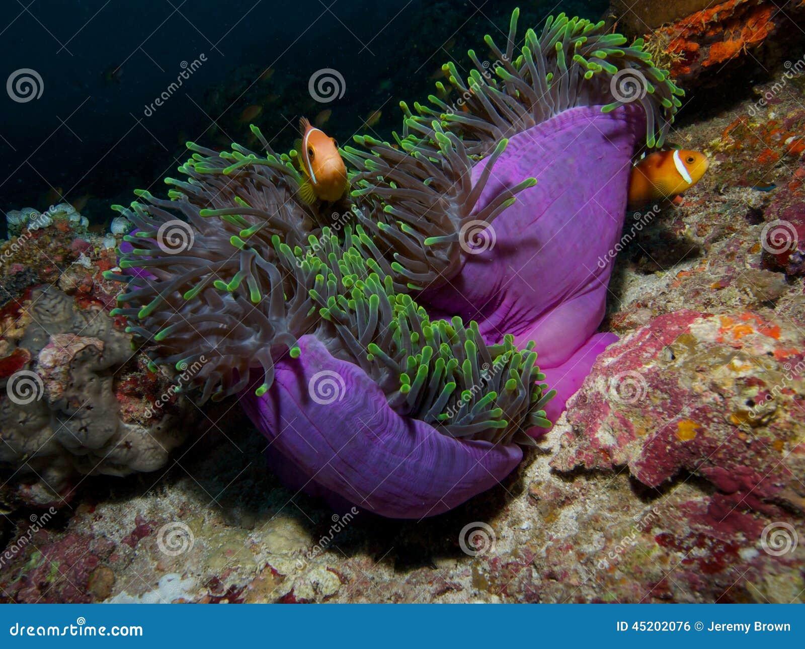 Anemonefish maldivo