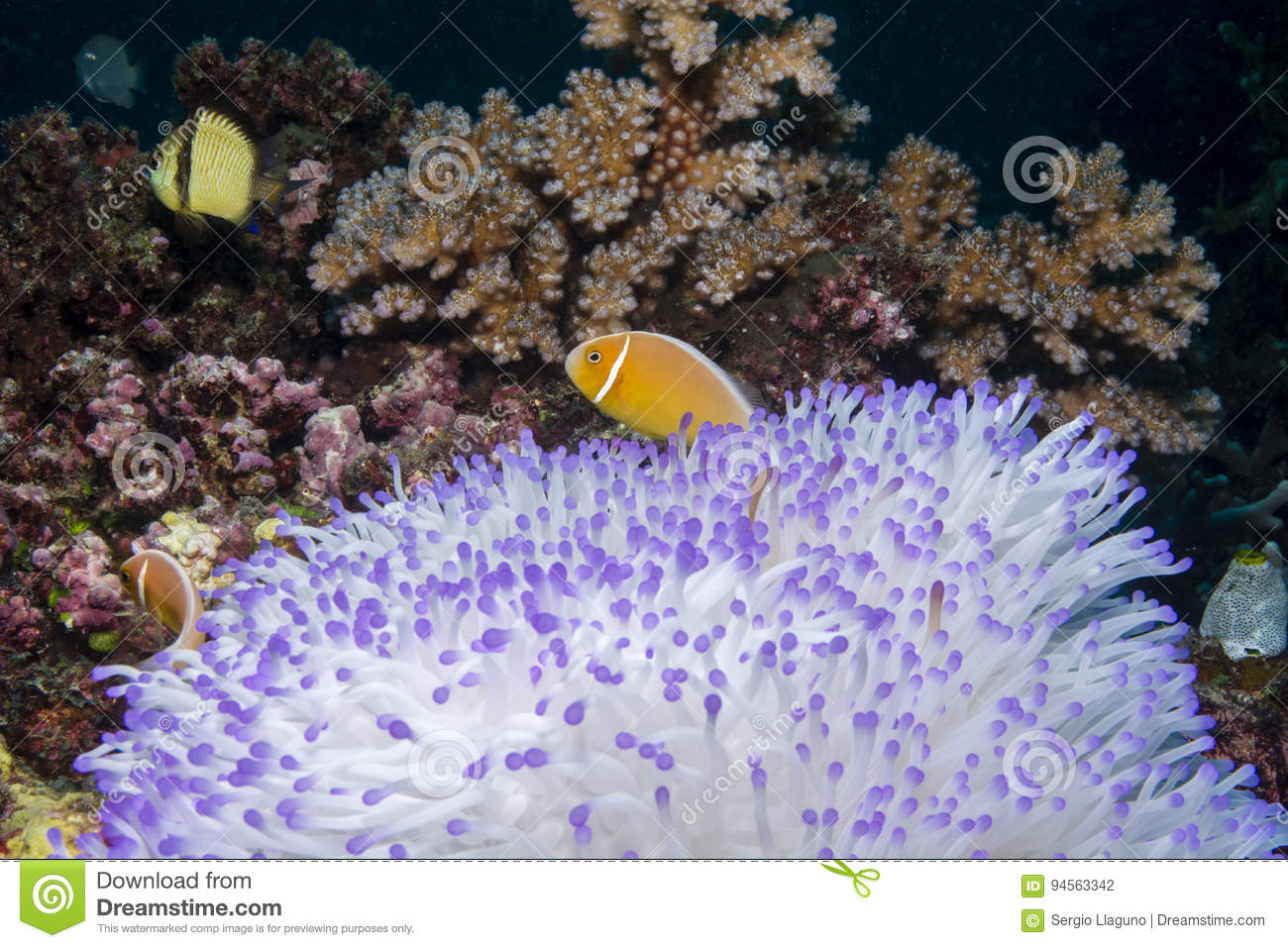 Anemonefish rose