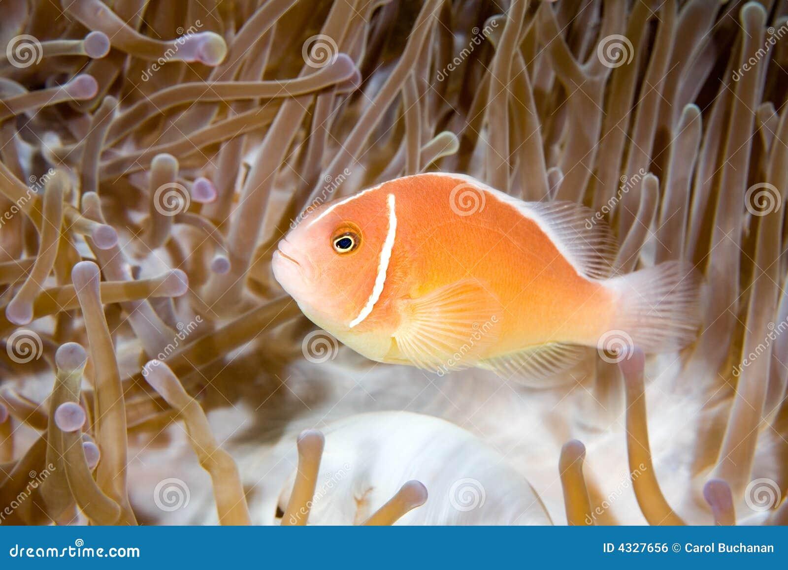 Anemonefishpink