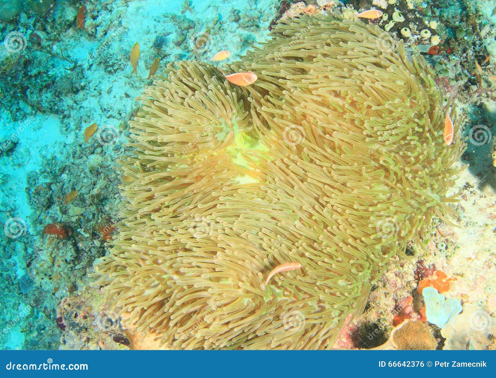 Anemonfish cor-de-rosa