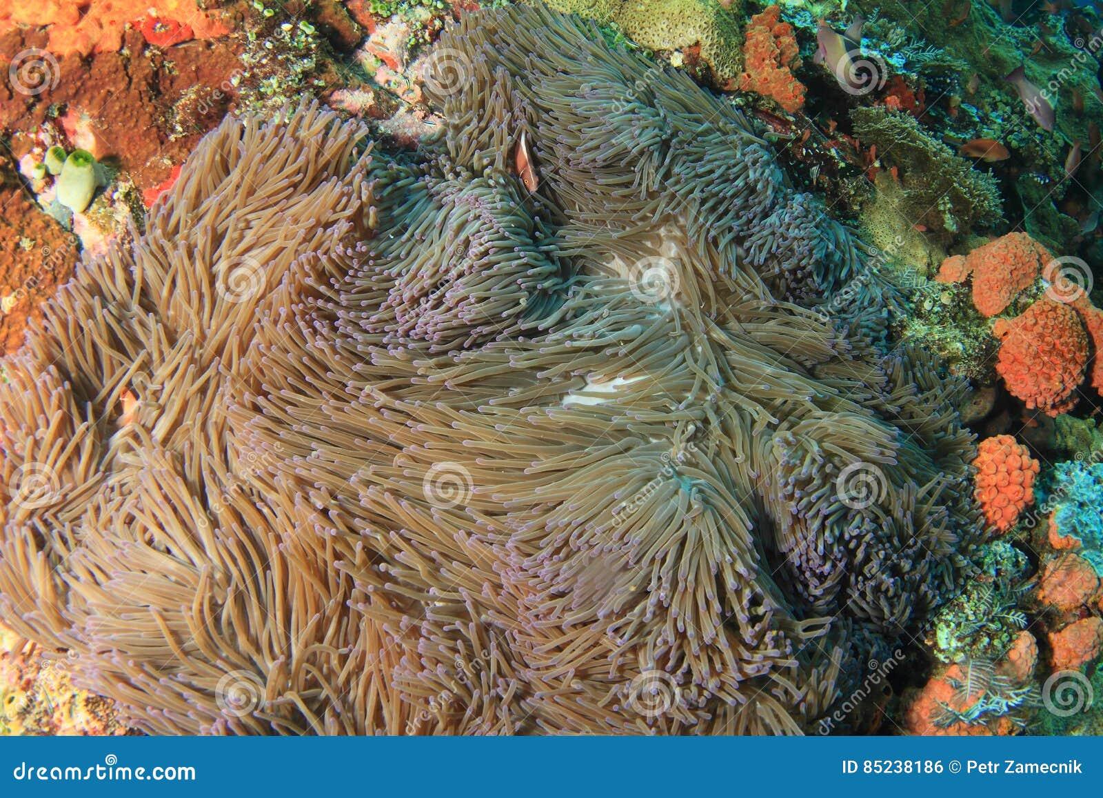 Anemonfish cor-de-rosa no anemon grande