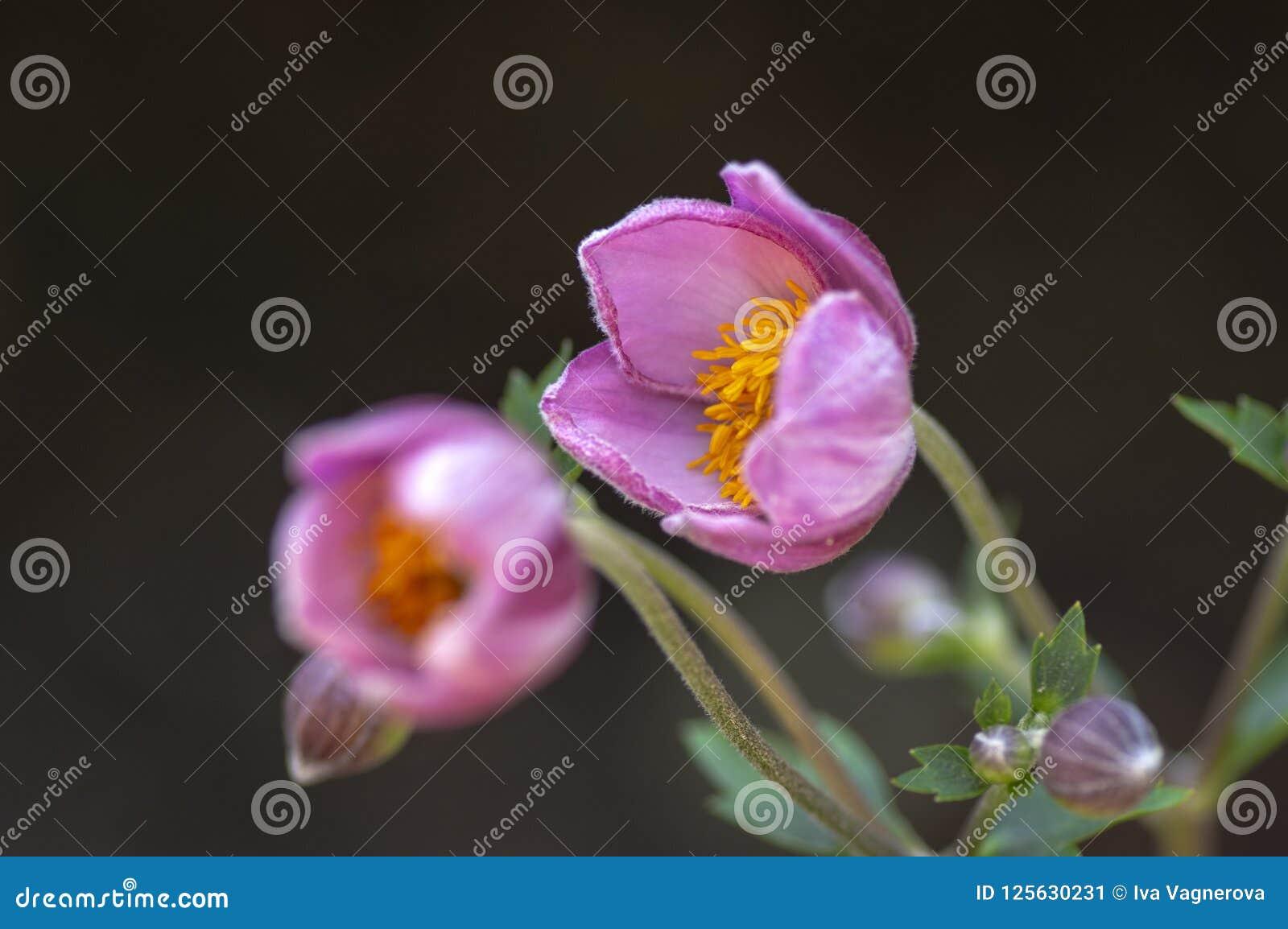 Anemonowego hupehensis japonica kwiatonośna roślina, Japoński anemon kwitnie w kwiacie, thimbleweed windflowers