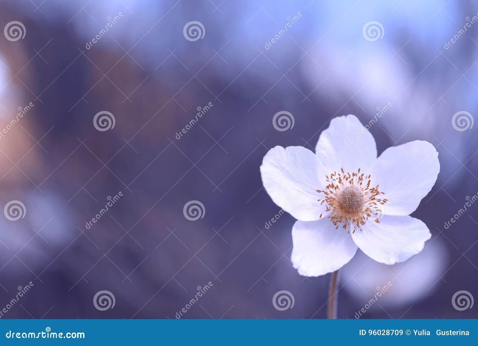 Anemonowy kwiat na delikatnym tle z przestrzenią dla teksta