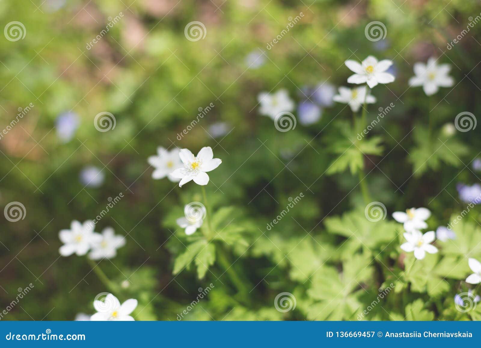 Anemonowy nemorosa kwitnie w lesie w słonecznym dniu Dziki anemon, windflowers, thimbleweed