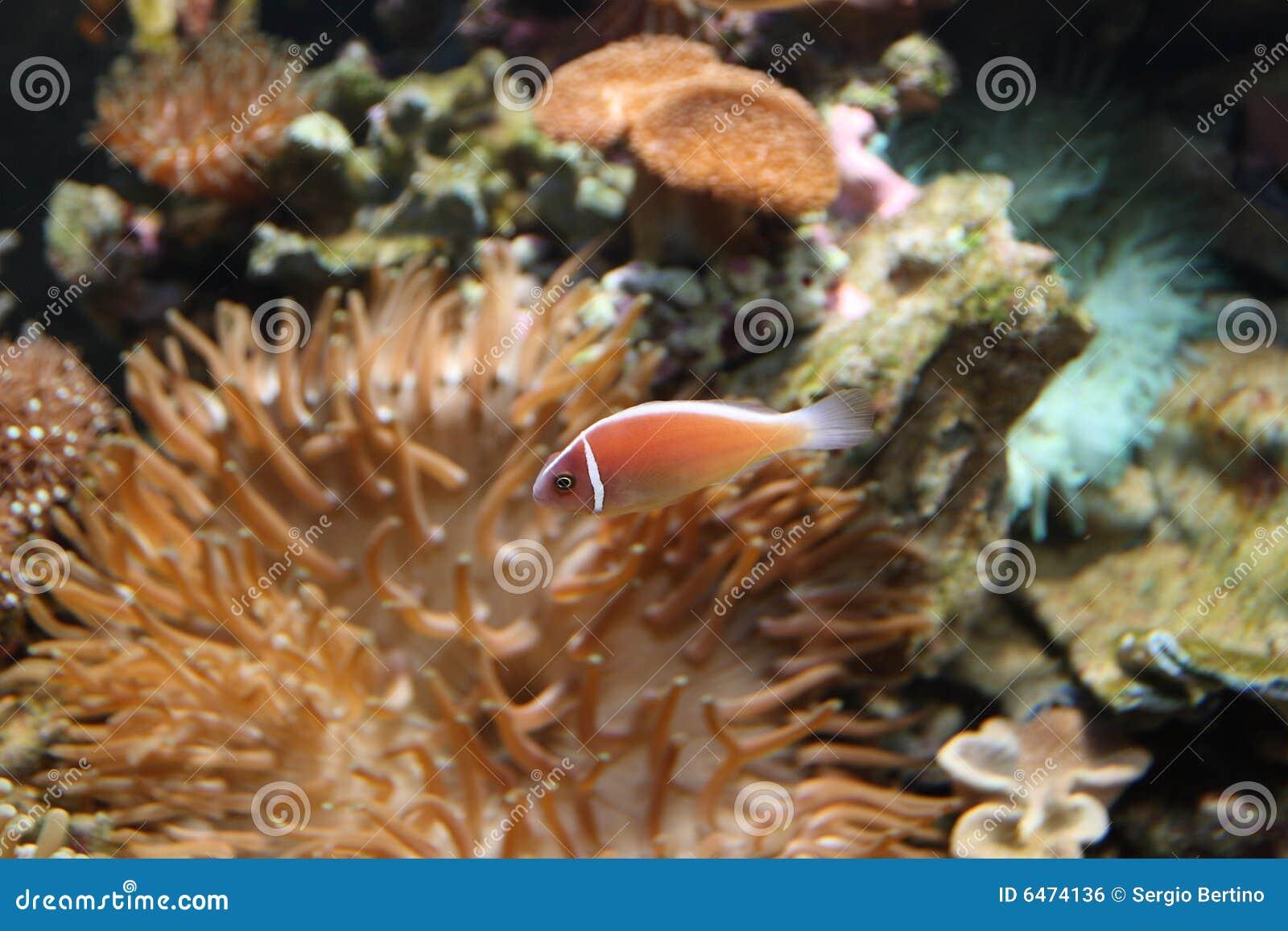 Anemonowy olbrzymiego morza