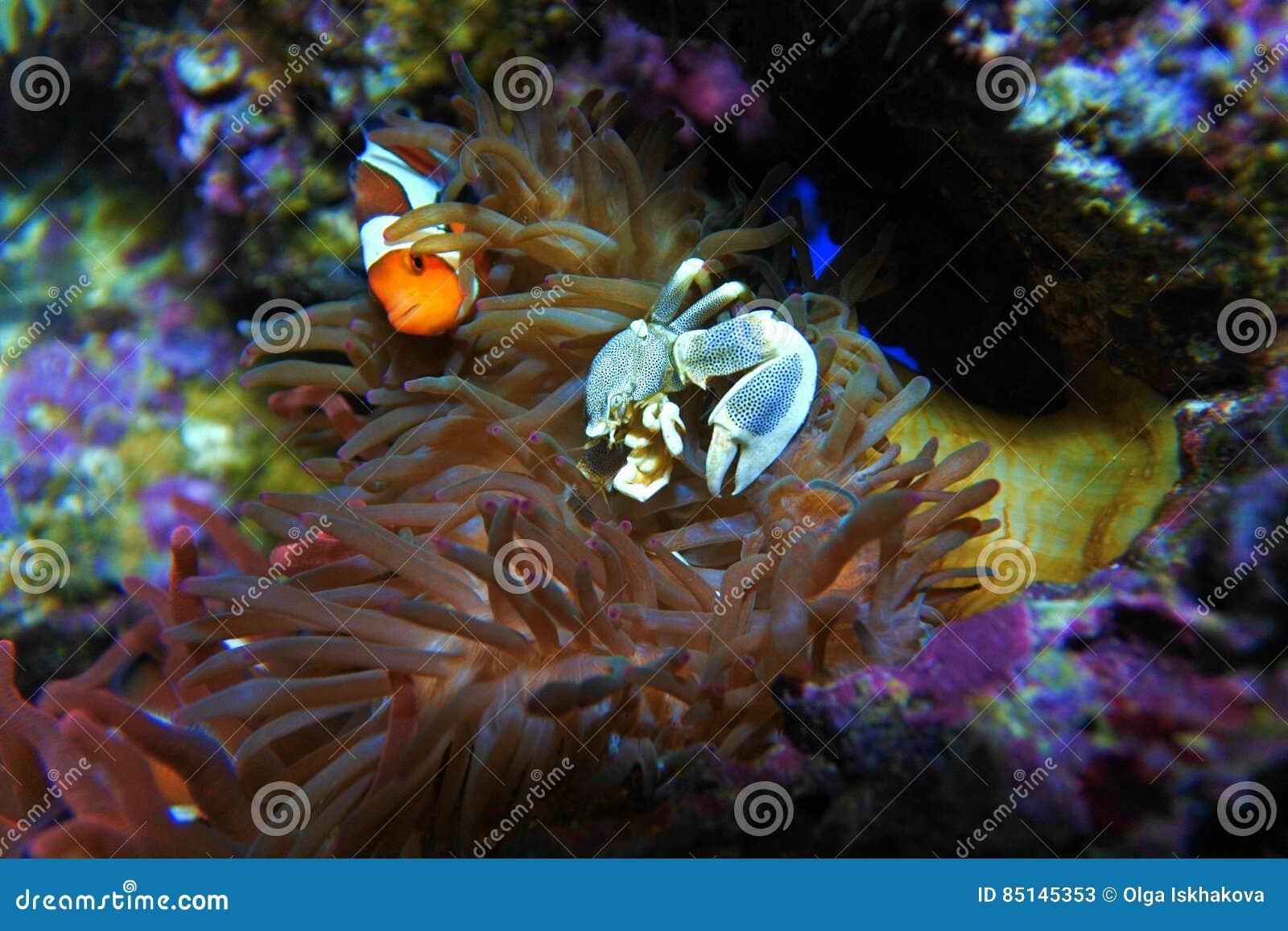 Anemony krabba och clownfisk
