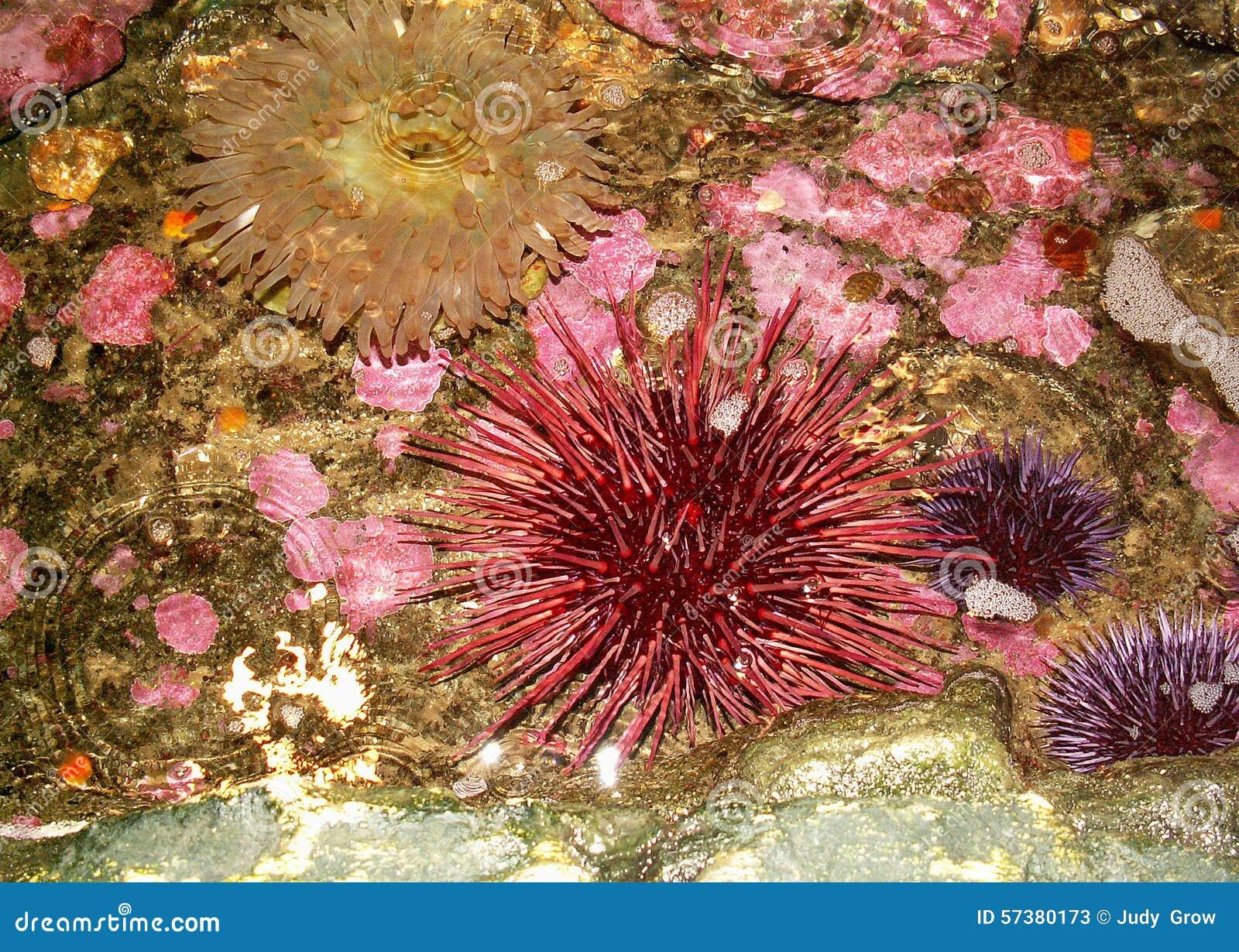 Anemoon en zeeëgels