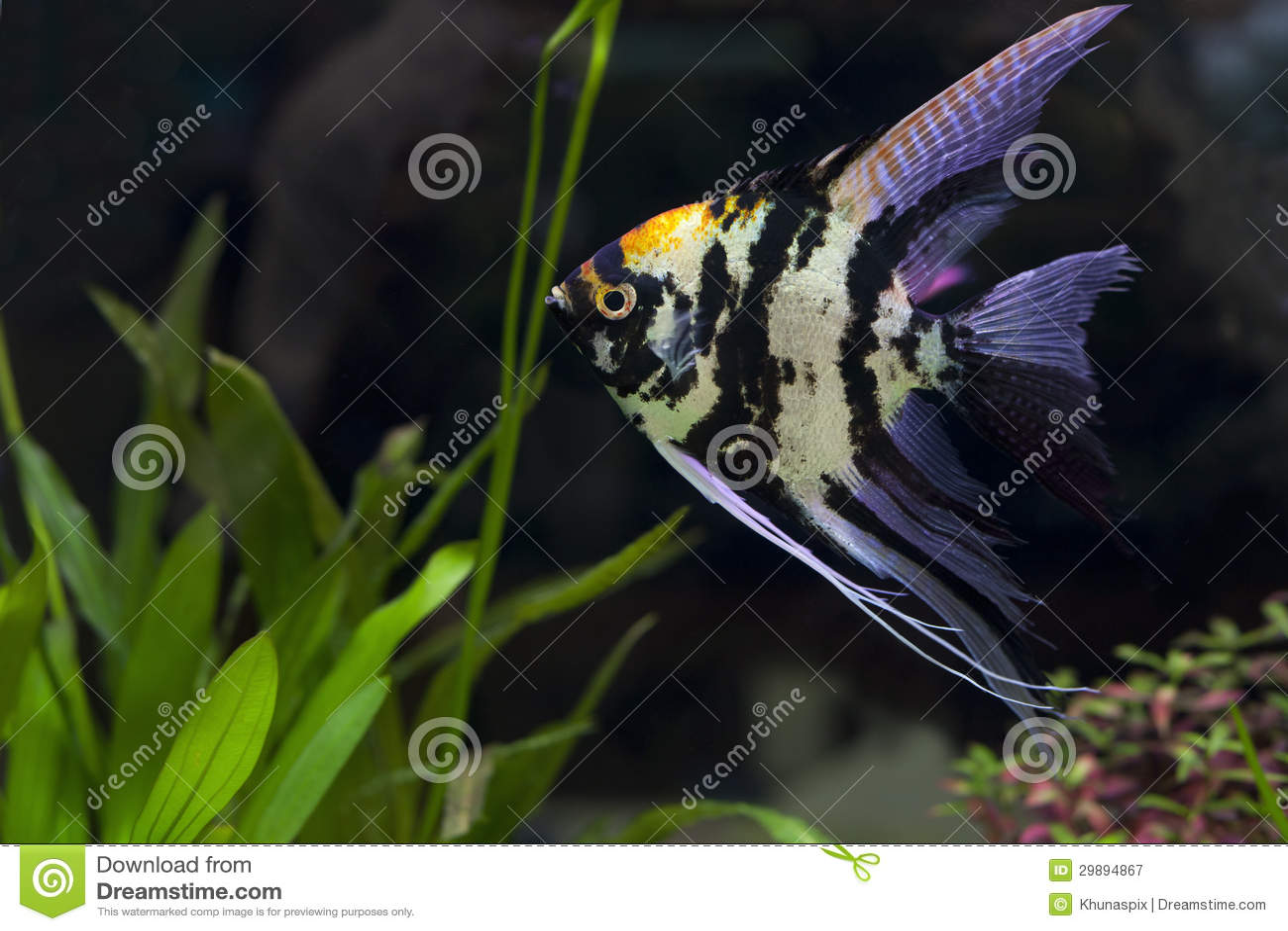 Angel fish in green aquarium royalty free stock for Aquarium angle