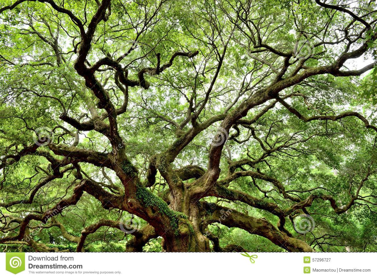 Angel Oak, Charleston, SC stock image  Image of destinations