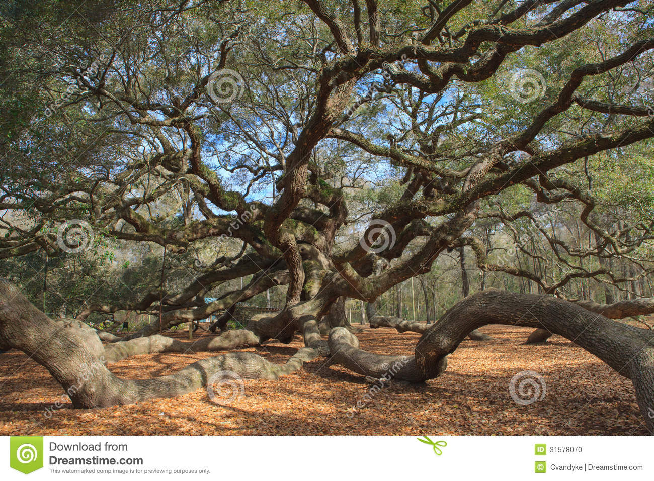 Angel Oak Tree Charleston South Carolina Stock Photo - Image