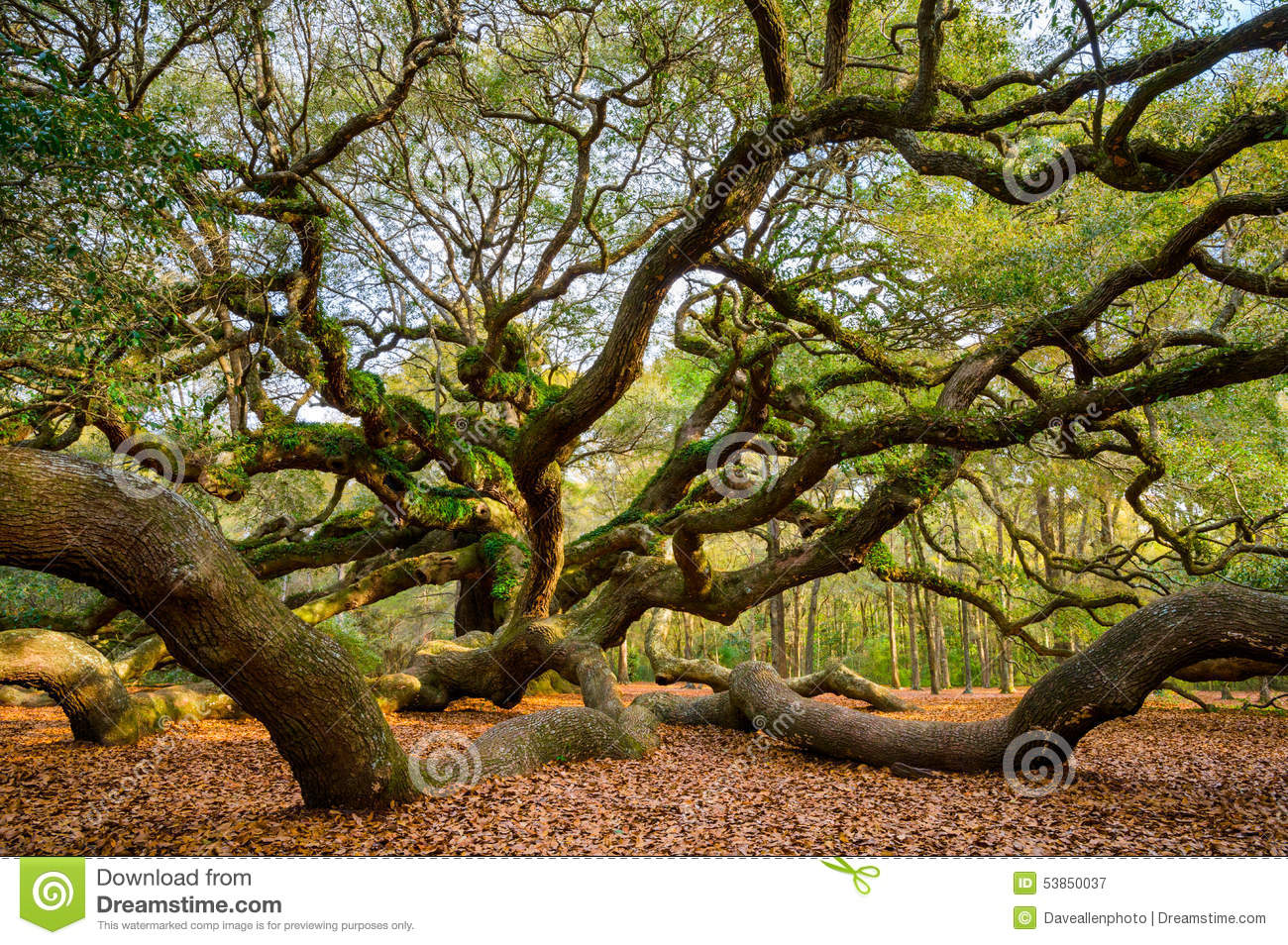 Angel Oak Tree Charleston South Carolina Scenic Nature Photograp