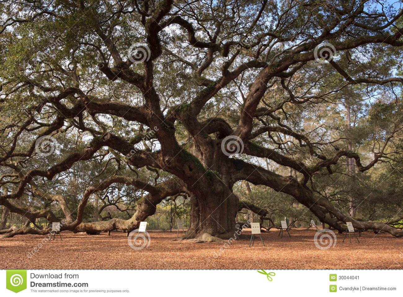 Angel Oak Tree Charleston South Carolina Stock Image - Image