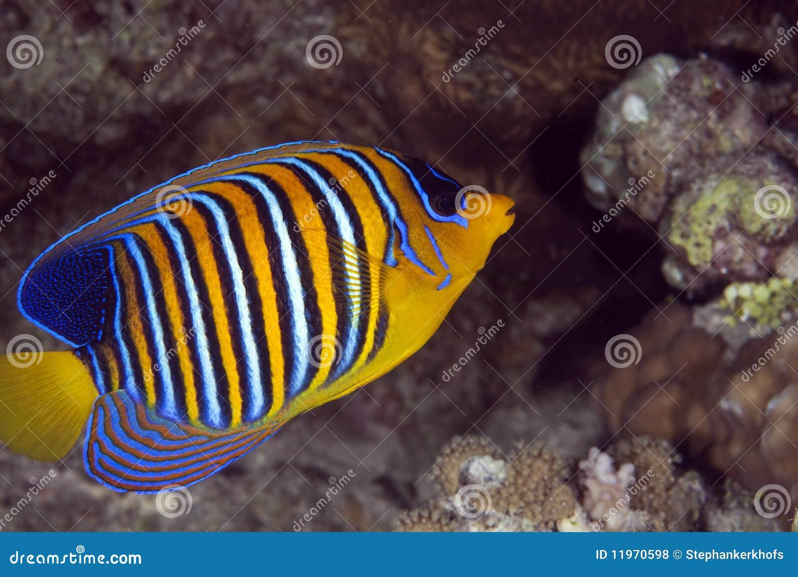 Angelfish βασιλοπρεπής