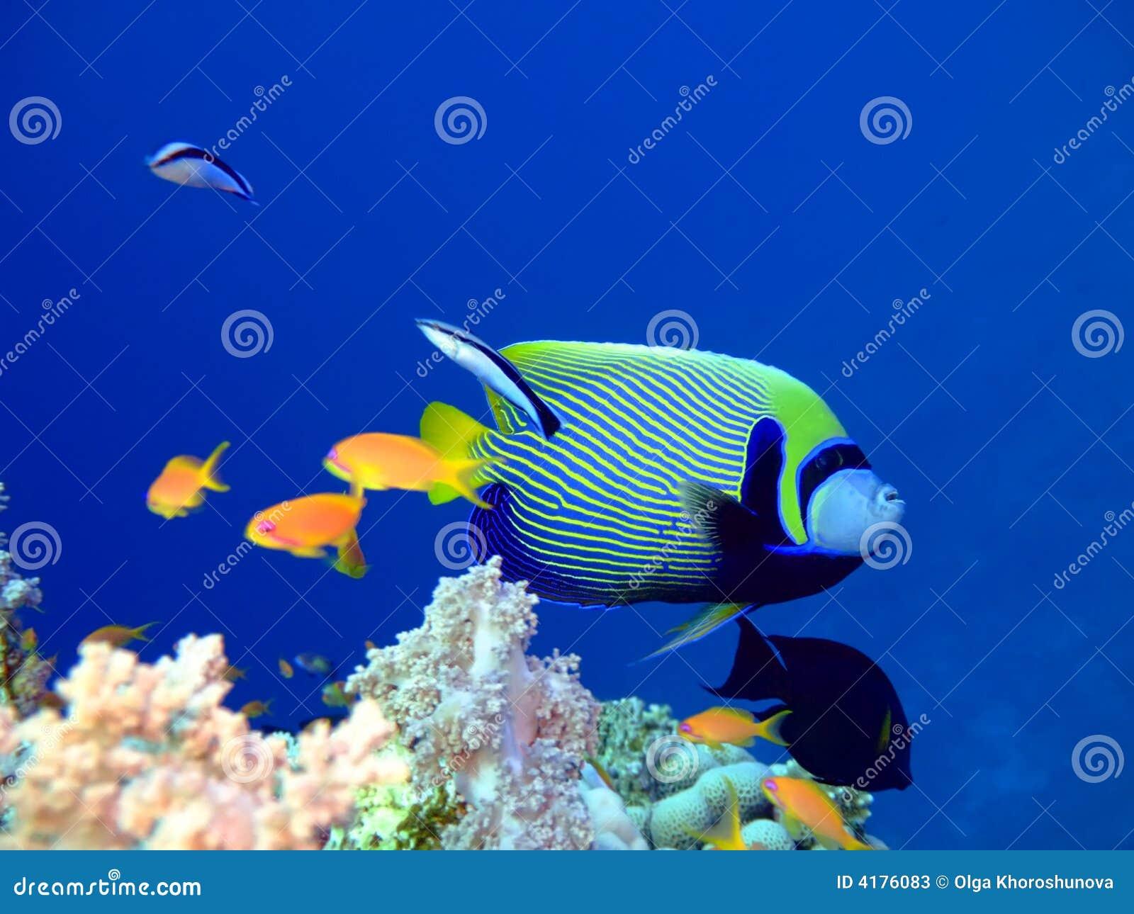 Angelfish ψάρια τροπικά
