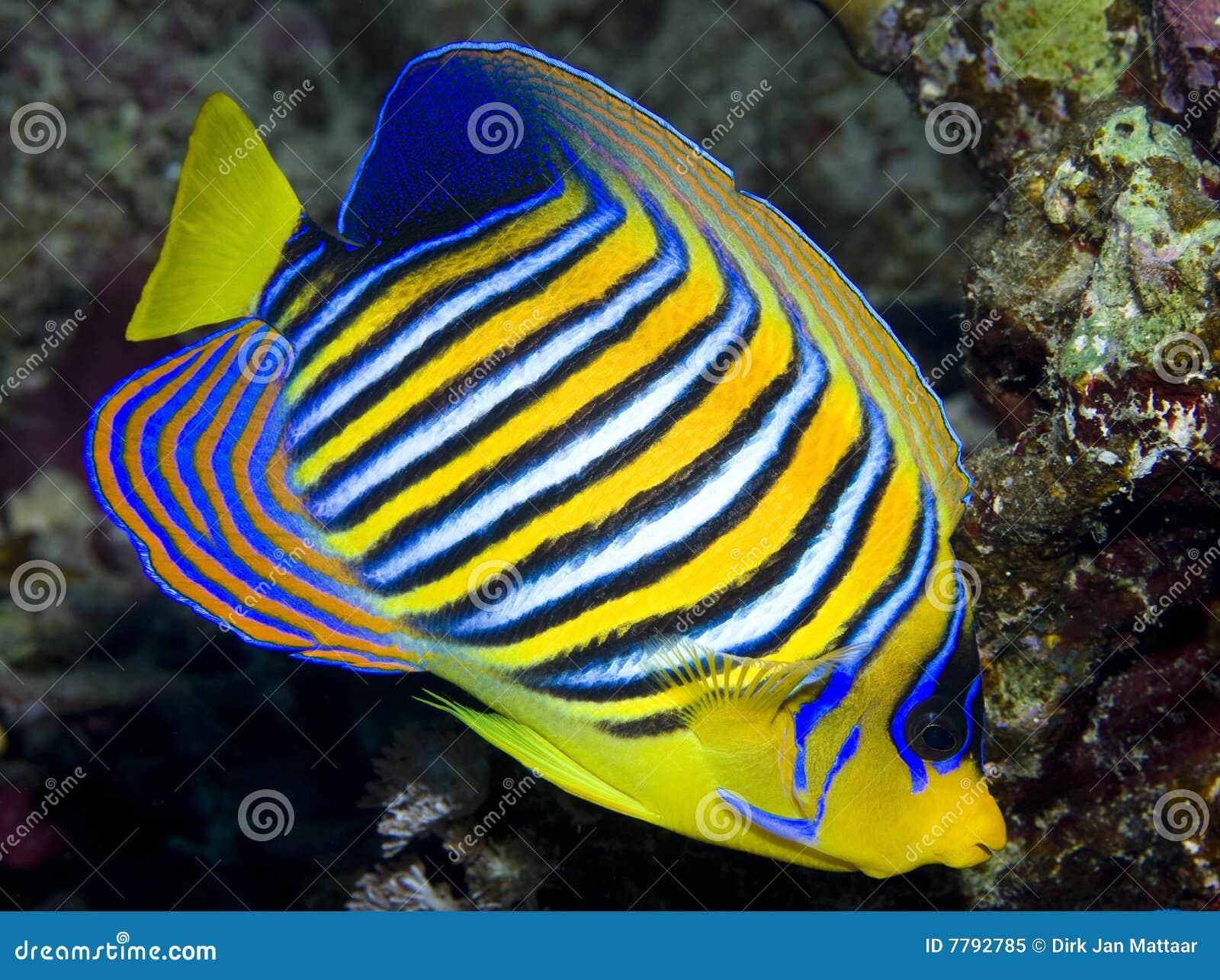Angelfish царственный