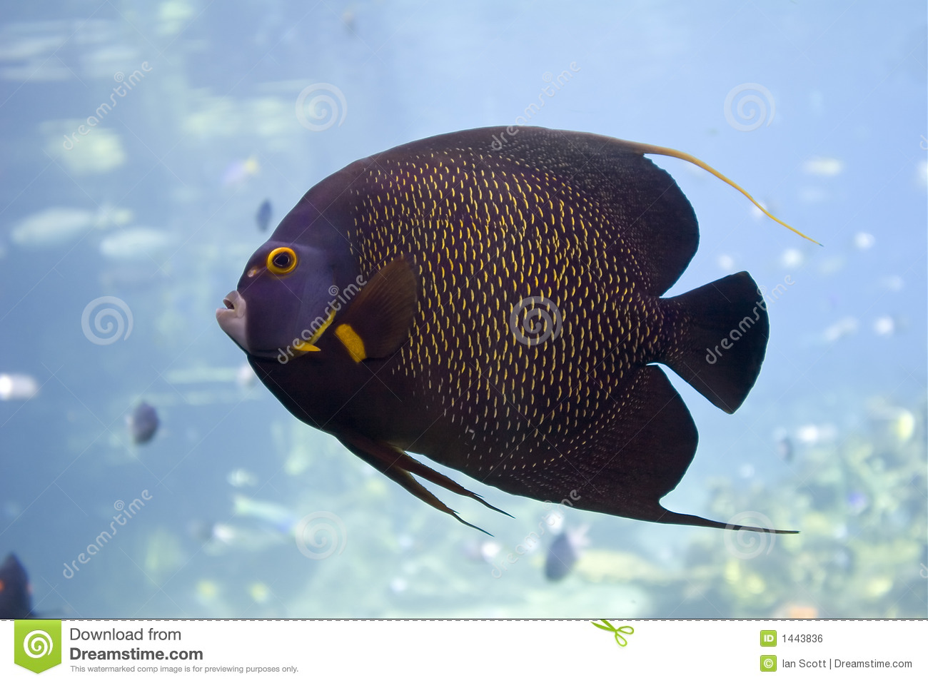 Brown Yellow Spotted Angelfish in clear water.