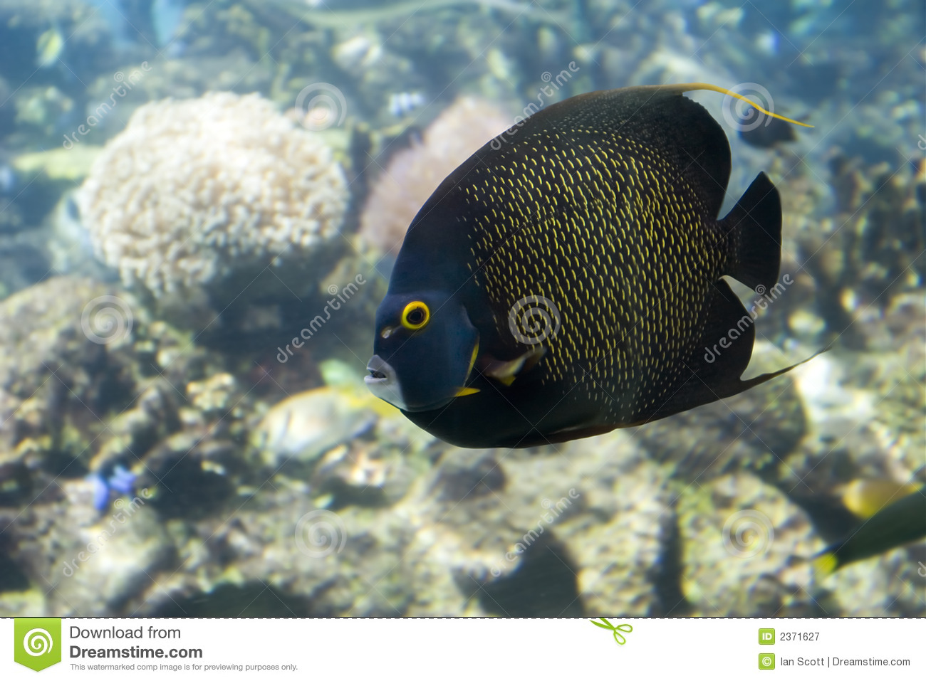 Brown Yellow Spotted Angelfish swimming over reef in clear water.