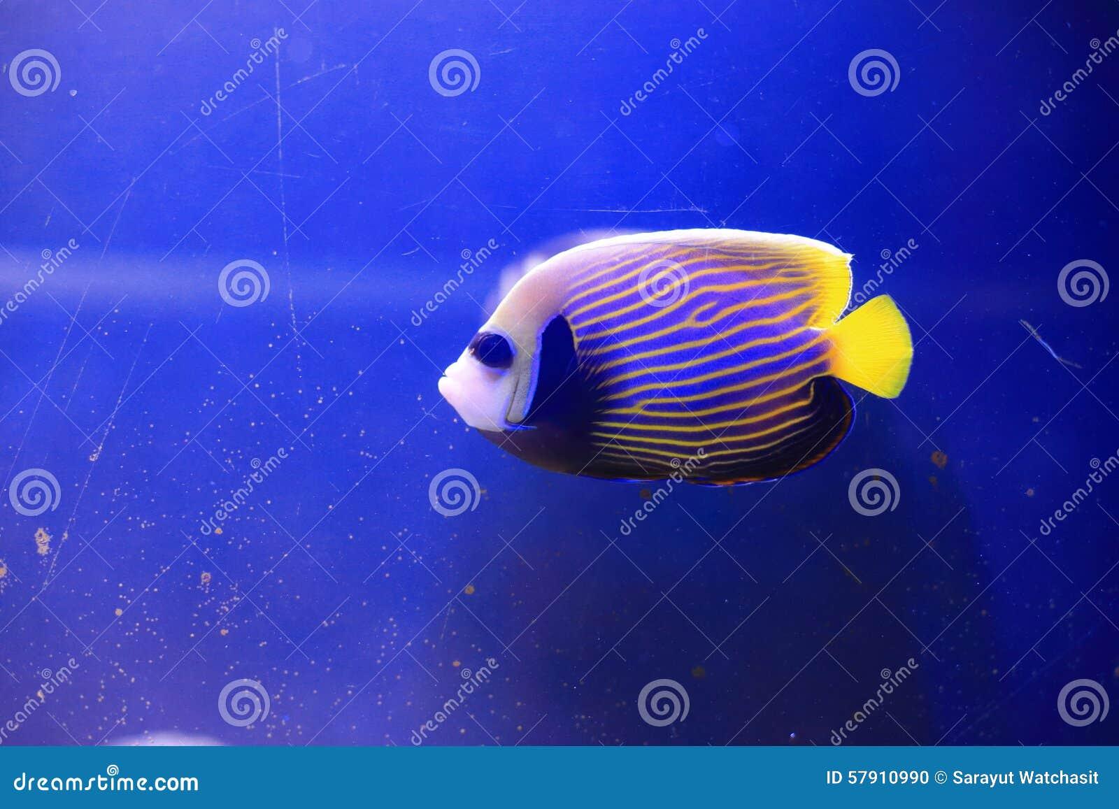 Angelfish d empereur