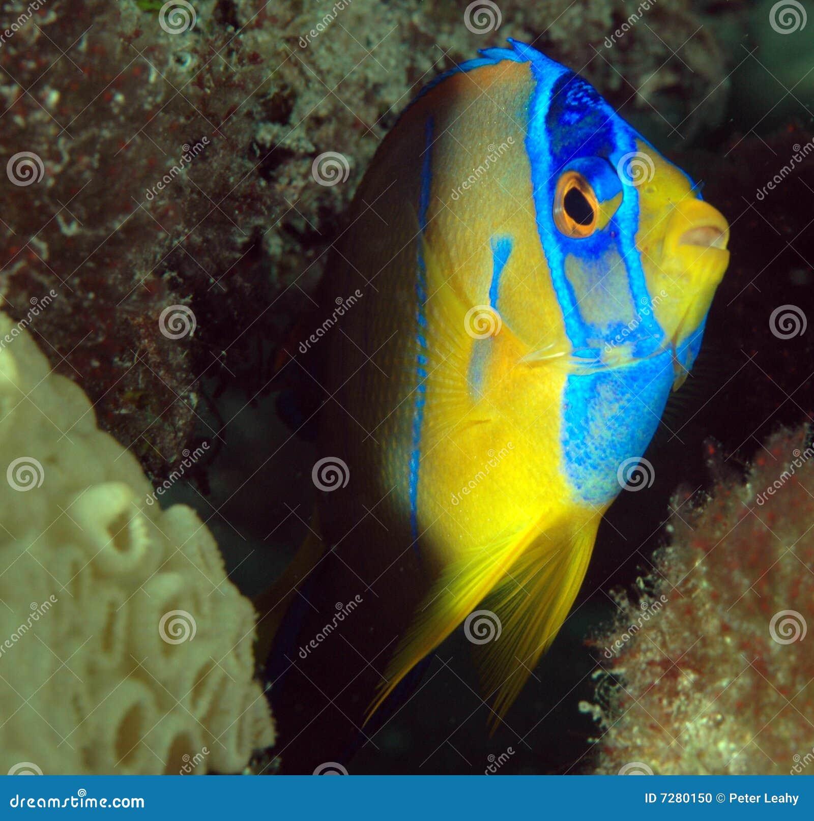 Angelfish de la reina de Juvenille