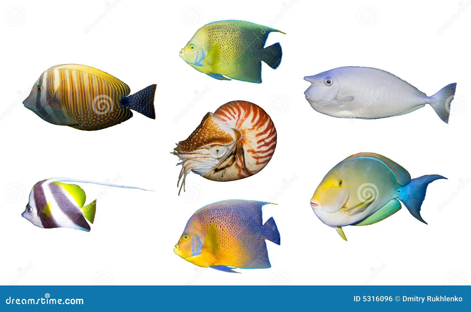 Download Angelfish Di Corallo Tropicale Dei Pesci Isolato Fotografia Stock - Immagine di mare, mollusco: 5316096
