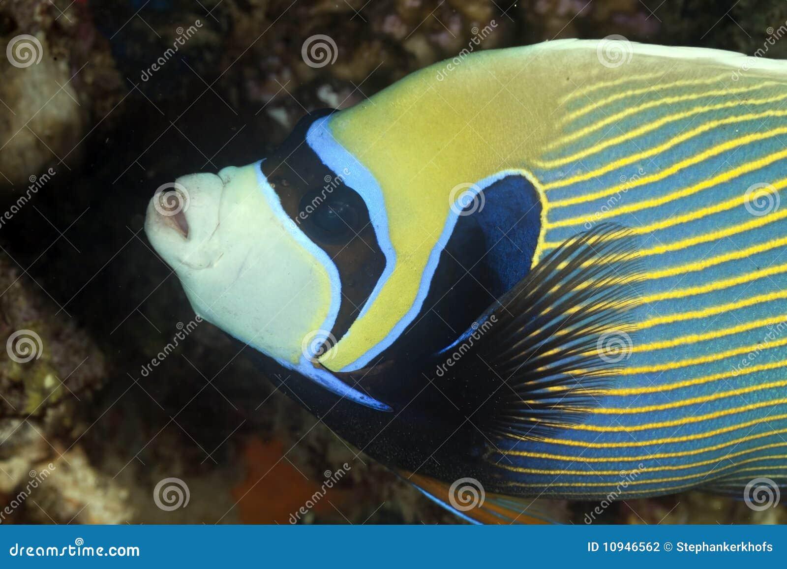 Angelfish emperor